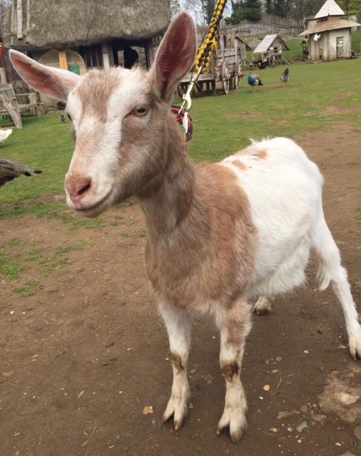 Meet Grace our new goat.
