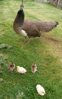 Peahen and babies at Mountfitchet Castle