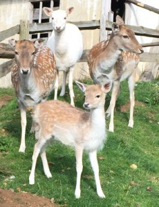 Orphaned baby deer meets her new pals at Mountfitchet Castle