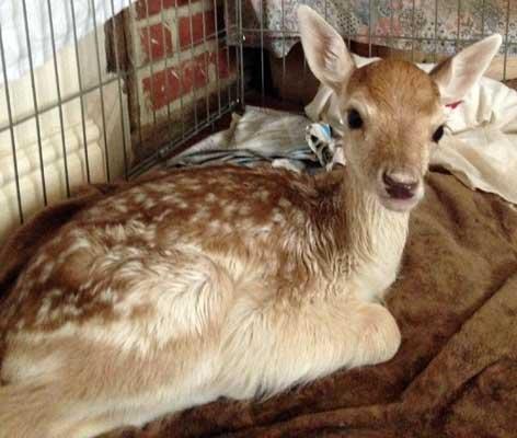 baby-deer-2