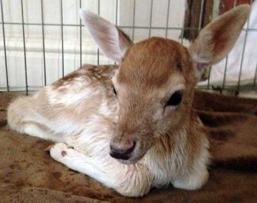 baby-deer-3